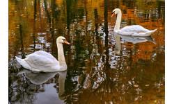 Swans in one of Peterhof's lakes